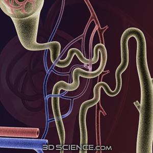 腎単位モデル